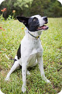 Boxer/Border Collie Mix Puppy for adoption in Austin, Texas - Lacey