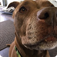 Adopt A Pet :: Sassy Sutton - Issaquah, WA