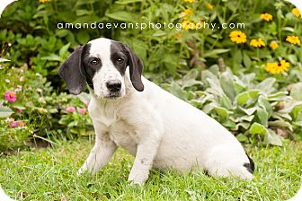 Setter (Unknown Type)/Labrador Retriever Mix Puppy for adoption in Glendale, Ohio - Checkers