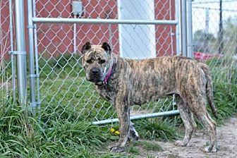 Presa Canario Mix Dog for adoption in holton, Kansas - Josey