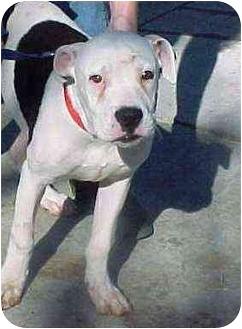 Boxer/American Bulldog Mix Dog for adoption in Brazil, Indiana - Lenny
