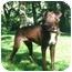 Photo 4 - Doberman Pinscher/Labrador Retriever Mix Dog for adoption in Jacksonville, Florida - Dobie Brown