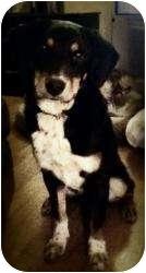Labrador Retriever/Australian Cattle Dog Mix Dog for adoption in Nanuet, New York - Castanza