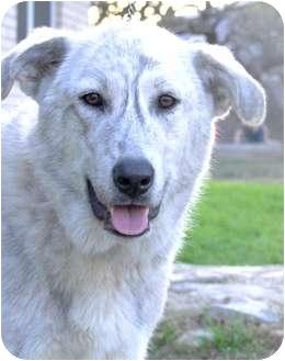 Great Pyrenees/Shepherd (Unknown Type) Mix Dog for adoption in Harper, Texas - Decker