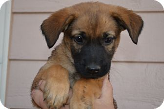 Shepherd (Unknown Type) Mix Puppy for adoption in Westminster, Colorado - Ginger
