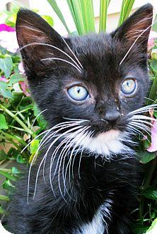 Domestic Shorthair Kitten for adoption in Mt. Prospect, Illinois - Sammy