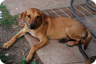 Hound (Unknown Type)/Labrador Retriever Mix Dog for adoption in Bunkie, Louisiana - Jill