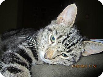 Domestic Shorthair Kitten for adoption in Bunnell, Florida - Shere Khan