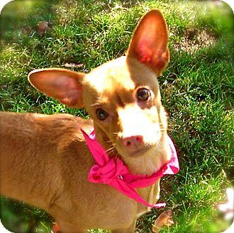 Chihuahua Mix Dog for adoption in El Cajon, California - Pinki