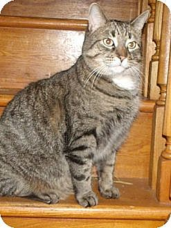 Domestic Shorthair Cat for adoption in Cambridge, Ontario - Austin