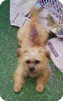 Cairn Terrier Mix Dog for adoption in Concord, North Carolina - Cecily