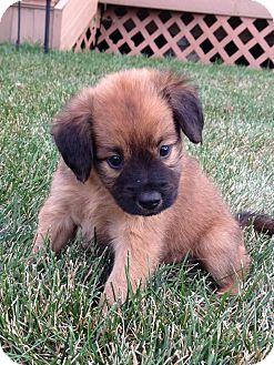 Cocker Spaniel/Shepherd (Unknown Type) Mix Puppy for adoption in Naperville, Illinois - Talise