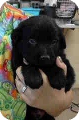 Newfoundland Mix Puppy for adoption in Tucson, Arizona - Gordie