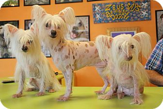 Chinese Crested Dog for adoption in New Orleans, Louisiana - Cozette