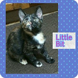Domestic Shorthair Kitten for adoption in North Richland Hills, Texas - Little Bit
