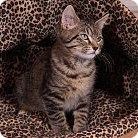 Adopt A Pet :: Baby Blue - St. Louis, MO