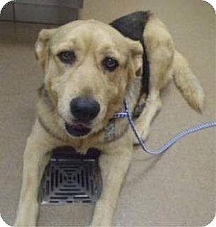 Shepherd (Unknown Type) Mix Dog for adoption in Las Vegas, Nevada - Sasha