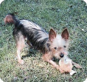 Yorkie, Yorkshire Terrier/Chihuahua Mix Dog for adoption in Atlanta, Georgia - Mimi