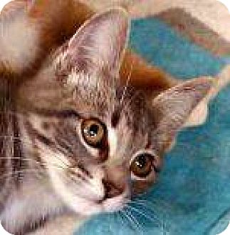 Domestic Shorthair Cat for adoption in Sauk Rapids, Minnesota - Doodle