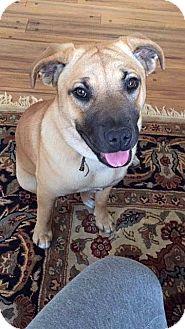 Golden Retriever/Boxer Mix Dog for adoption in Berkeley, California - Clover **URGENT**