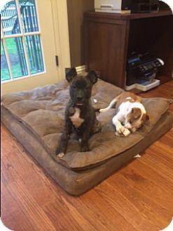 German Shepherd Dog/Terrier (Unknown Type, Medium) Mix Puppy for adoption in Bartonsville, Pennsylvania - PorkChop (courtesy listing)