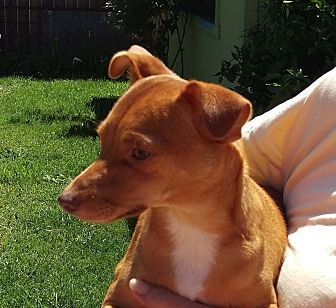 Chihuahua Mix Puppy for adoption in Walnut Creek, California - Raffie