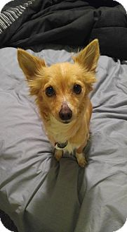 Chihuahua Mix Dog for adoption in Norman, Oklahoma - Gabby