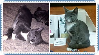 Domestic Shorthair Kitten for adoption in Okotoks, Alberta - Greyson