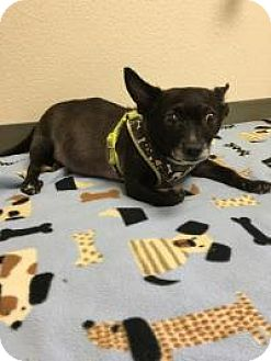 Chihuahua Mix Dog for adoption in New Smyrna Beach, Florida - Lindsey**On Hold**