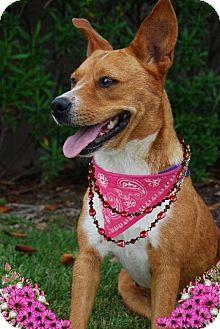 Labrador Retriever/Beagle Mix Dog for adoption in Sugar Land, Texas - Angel