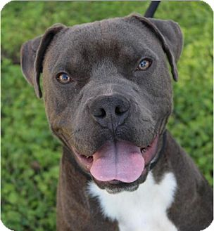 American Bulldog Mix Dog for adoption in Red Bluff, California - JETT-low fees/neutered