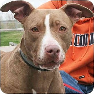 American Staffordshire Terrier/Vizsla Mix Dog for adoption in Huntley, Illinois - Amberlynn
