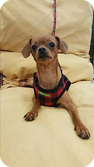 Miniature Pinscher/Chihuahua Mix Dog for adoption in San Dimas, California - Noel