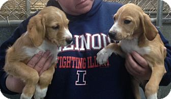 Brittany/Beagle Mix Puppy for adoption in Paris, Illinois - Holly