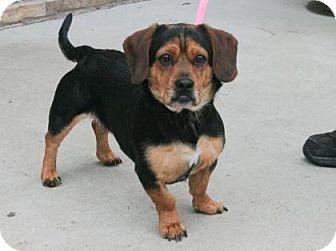 Beagle Mix Dog for adoption in Philadelphia, Pennsylvania - Ollie