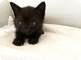 American Shorthair Kitten for adoption in Portsmouth, New Hampshire - Pandora