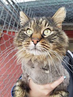 Domestic Longhair Cat for adoption in Douglas, Wyoming - Sanders