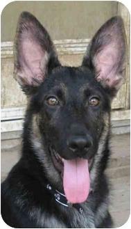German Shepherd Dog/German Shepherd Dog Mix Puppy for adoption in Dripping Springs, Texas - Rolex