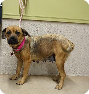 Pug/Beagle Mix Dog for adoption in Oviedo, Florida - Willow
