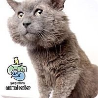 Domestic Shorthair Cat for adoption in Knoxville, Tennessee - Galdalf