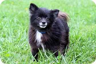 Pomeranian Mix Dog for adoption in Waldorf, Maryland - Midnight