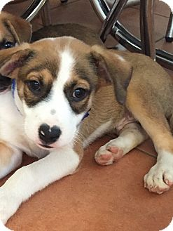 Australian Shepherd Mix Puppy for adoption in Vancouver, British Columbia - Joe
