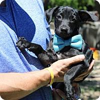 Adopt A Pet :: Zach - Bandera, TX