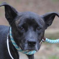 Adopt A Pet :: Bella - Spartanburg, SC