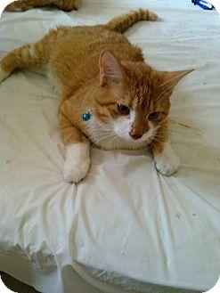 American Shorthair Cat for adoption in Golsboro, North Carolina - Jack