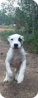 St. Bernard/Pit Bull Terrier Mix Puppy for adoption in Denver, Colorado - Iceman