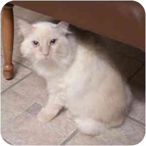 Himalayan Cat for adoption in Phoenix, Arizona - Delilah
