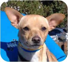 Chihuahua Mix Dog for adoption in Reno, Nevada - Citrone