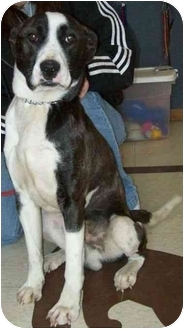 Boxer Mix Dog for adoption in North Judson, Indiana - Marty