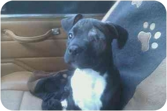 American Pit Bull Terrier Mix Puppy for adoption in Norwalk, Connecticut - Winnie
